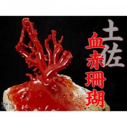 希少な逸品★赤き宝石★高知県土佐沖産・血赤珊瑚原木